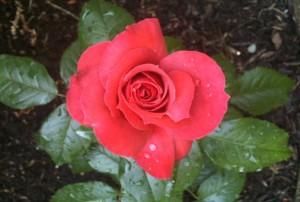 Dirty Little Blog Rose